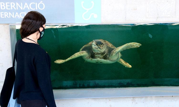Una de las tortugas marinas salvadas por el CRAM. - Foto: ACN. Carola López