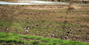 Un grupo de ocas se pasea tranquilamente por el Delta del Llobregat.