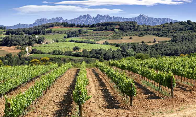 VInyes del Penedès amb Montserrat al fons.