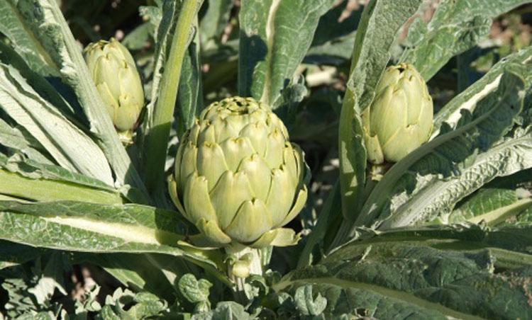 La carxofa Prat es uno de los productos más queridos del Baix Llobregat.