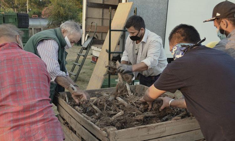 Los agricultores de la Cooperativa descargan las cepas de alcachofa.