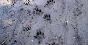 Descubren nutrias en el río Llobregat